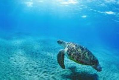 Deniz Kaplumbağası Evlat Edinin