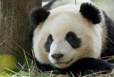 Panda Evlat Edinin